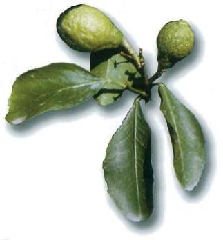 "Citrus limonimedica ""SAN DOMENICO"" Lush. - Citrumelo"
