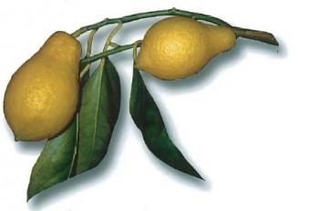 """Citrus limonimedica """"PERETTONE"""" Lush. - Citrumelo"""