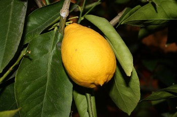 "Citrus limon ""SANTA CATARINA"" (L.) Burm.- Citrumelo"