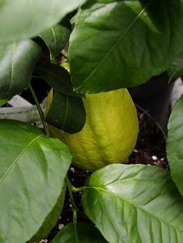 "Citrus limon ""IZRAEL"" (L.) Burm - Citrumelo"