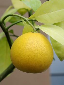 "Citrus paradisi (Macf.) ""GRUŠEVIDNYJ"" - Citrumelo"