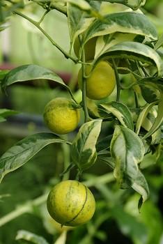 """Citrus unshiu """"MIYAGAWA 00 variegata"""" ( Marcow. ) - Citrumelo"""