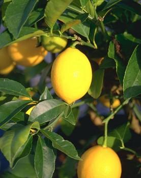 """Citrus aurantifolia (Christm.) Swing. """"LA VALLETTE"""" - Citrumelo"""