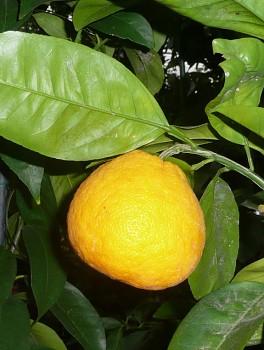 Citrus obovoidea hort. ex I. Takahashi - Poncirus