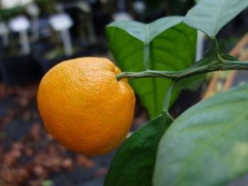 "Citrus unshiu ""SAIGON SRA 29"" ( Marcow. ) - Citrumelo"
