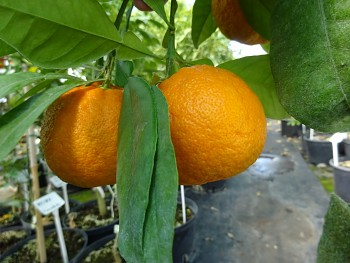 """Citrus aurantium """"CORNICULATA"""" L. - Citrumelo"""
