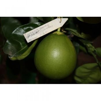 """Citrus grandis """"PINK"""" Osbeck - Citrumelo"""