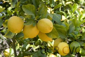 "Citrus limon ""GENOA"" (L.) Burm - Citrumelo"