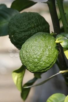 "Citrus medica L. ""CEDRO"" - Citrumelo"