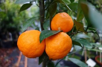"Citrus unshiu ""ZORANA"" ( Marcow. ) - Citrumelo"