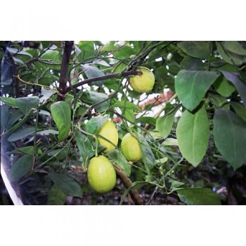 "Citrus limon ""DORSHAPO"" (L.) Burm - Citrumelo"