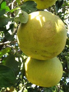 "Citrus grandis ""SIAMENSIS"" Osbeck - Citrumelo"