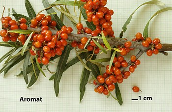 "Hippophae rhamnoides (L.) ""AROMAT"" - Rakytník řešetlákový"