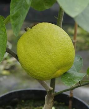 "Citrus limonimedica ""NINE POUNDER"" Lush. - Citrumelo"