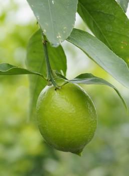 """Citrus latifolia Tan. """"TAHITSKÝ LAJM - TAHITI"""" - Citrumelo"""