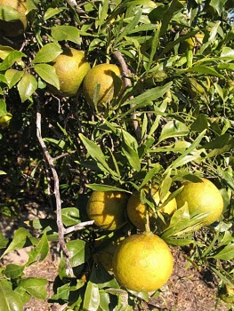 "Citrus aurantium ""ABERS NARROW LEAF"" L. - Citrumelo"