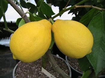 """Citrus limon """"ADAMO"""" (L.) Burm. - Citrumelo"""