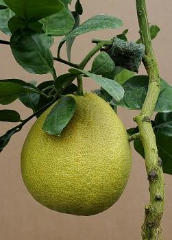 "Citrus grandis ""POMELO"" Osbeck - Citrumelo"