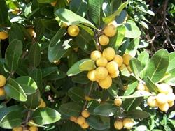Atalantia citroides - Citrumelo