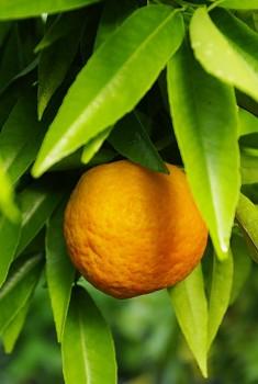 """Citrus clementina """"FINA"""" ( hort. ex Tanaka ) - Citrumelo"""
