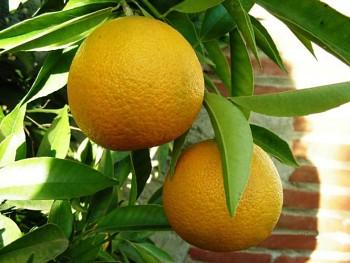 "Citrus clementina ""LORETINA"" (hort. ex Tanaka) - Citrumelo"
