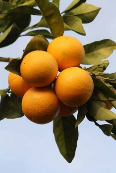 """Citrus sinensis """"VAINIGLIA APIRENO"""" (L.) Osbeck - Citrumelo"""