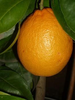 """Citrus sinensis """"SUCREŇA"""" (L.) Osbeck - Citrumelo"""