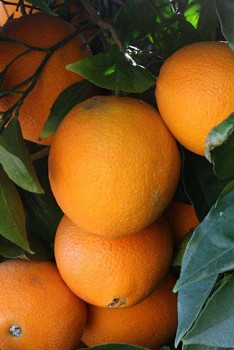 "Citrus sinensis ""NEWHALL"" (L.) Osbeck - Citrumelo"