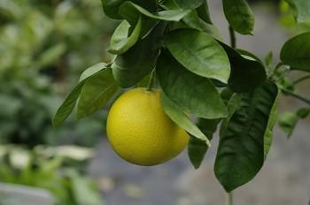 "Citrus sinensis ""NARANEJA MAYAJUGAU"" (L.) Osbeck - Citrumelo"