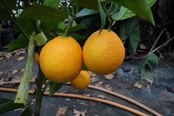 """Citrus sinensis """"OMISHIMA"""" (L.) Osbeck - Citrumelo"""