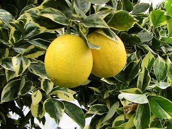 """Citrus sinensis """"ARANCIO VARIEGATA"""" (L.) Osbeck"""