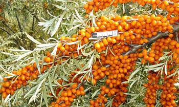 """Hippophae rhamnoides (L.) """"PANTĚLEJEVSKÁ"""" - Rakytník řešetlákový"""