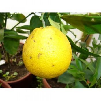 "Citrus sinensis ""ABCHAZSKIJ MĚSTNYJ"" (L.) Osbeck"