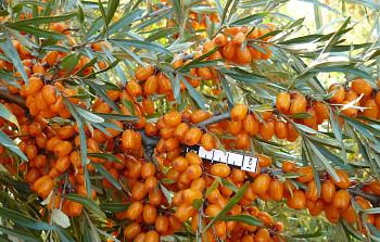 "Hippophae rhamnoides (L.) ""ALTAJSKÁ"" - Rakytník řešetlákový"