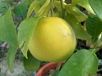 "Citrus grandis ""POMELO WALKER"" Osbeck - Citrumelo"