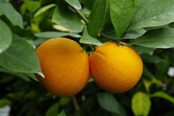 """Citrus sinensis """"SKAGGS BONANZA"""" (L.) Osbeck - Citrumelo"""