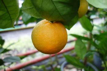 "Citrus sinensis ""KOROLOK BATUMSKIJ"" (L.) Osbeck - Citrumelo"