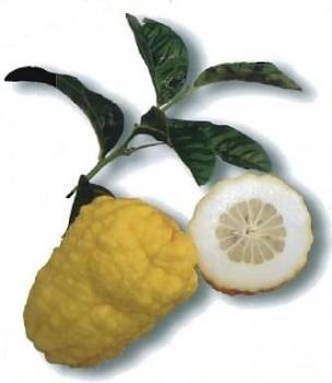 """""""VOZZA VOZZA"""" - (C. limon x C. grandis)  - Citrumelo"""