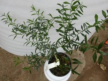Microcitrus australis - 116 - Citrumelo