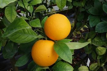 """Citrus sinensis """"VERNA"""" (L.) Osbeck - Citrumelo"""