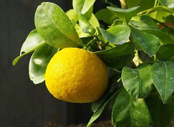 """Citrus aurantium var. myrtifolia """"CRISPIFOLIA"""" - Poncirus"""