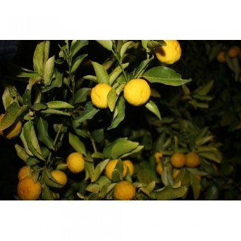 """Citrus sp. """"HANA-YUZU"""" (Sudachi)- Poncirus"""
