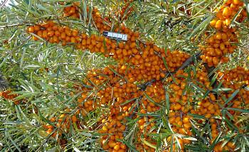 "Hippophae rhamnoides (L.) ""ČUJSKÁ"" - Rakytník řešetlákový"