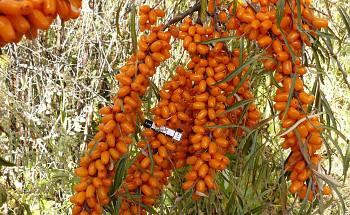 "Hippophae rhamnoides (L.) ""ELIZAVETA"" - Rakytník řešetlákový"