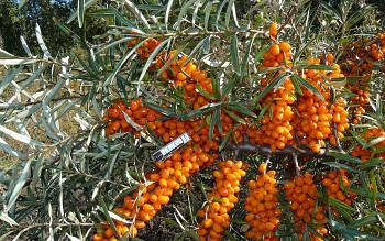 "Hippophae rhamnoides (L.) ""KLAUDIE"" - Rakytník řešetlákový"