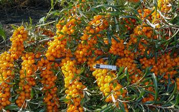 "Hippophae rhamnoides (L.) ""ŽEMČUŽINA"" - Rakytník řešetlákový"