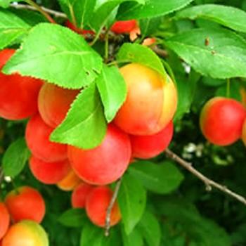 "Prunus cerasifera - Plodový myrobalán - ""Rumjanaja Zorka"""
