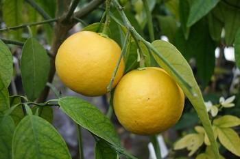 Citrus ichangensis × Citrus sinensis - Poncirus