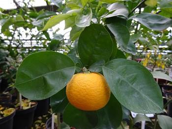 "Citrus sphaerocarpa Tan.""Kabosu"" -  Poncirus"