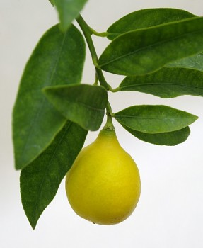 """""""EUSTIS"""" - Limequat - (C. aurantifolia x Fortunella) - Citrumelo"""